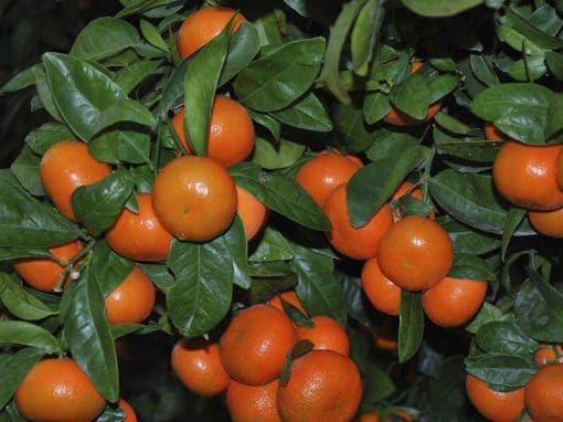 Proyecto naranjas