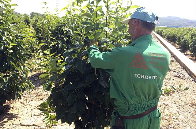 Cuando se podan los arboles frutales beautiful la poda de rboles frutales with cuando se podan - Cuando se plantan los arboles frutales ...