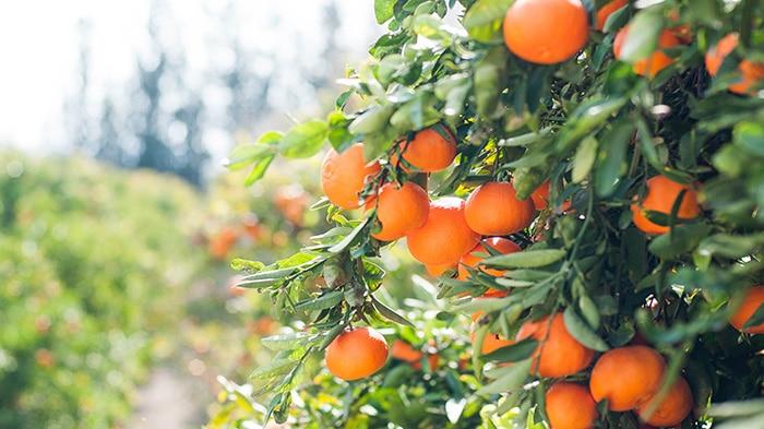 Datos curiosos sobre las naranjas que desconocías