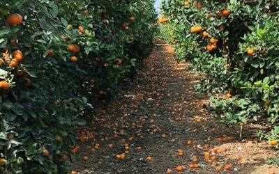 Conservación de los cítricos en otoño