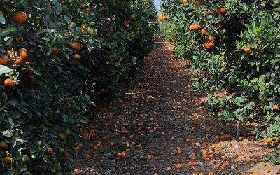 ¿Qué hacer si mis naranjas se han quedado en el árbol?